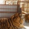 На территории имения экс-министра Клименко, нашли амурских тигров и медведей (ВИДЕО)