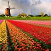 Россия запретила импорт цветов из Голландии